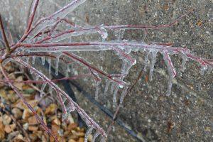 Icey Plant